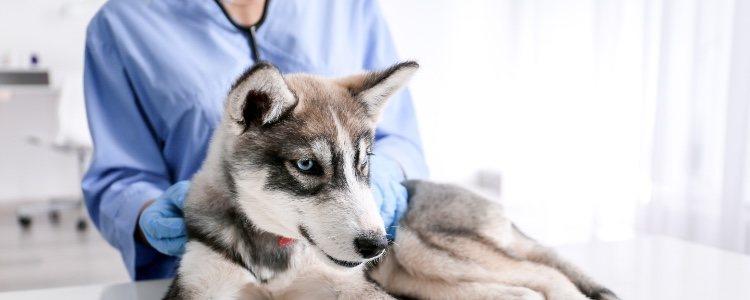 Es muy importante acudir a un veterinario cuando se consigue reanimar al perro