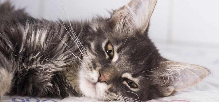El cáncer de piel es el tipo de cáncer más común en gatos
