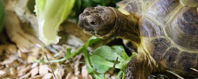 Una dieta equilibrada es fundamental para la salud de las tortugas