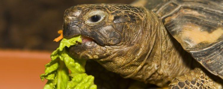 Las tortugas atraviesan fases de hibernación durante el año