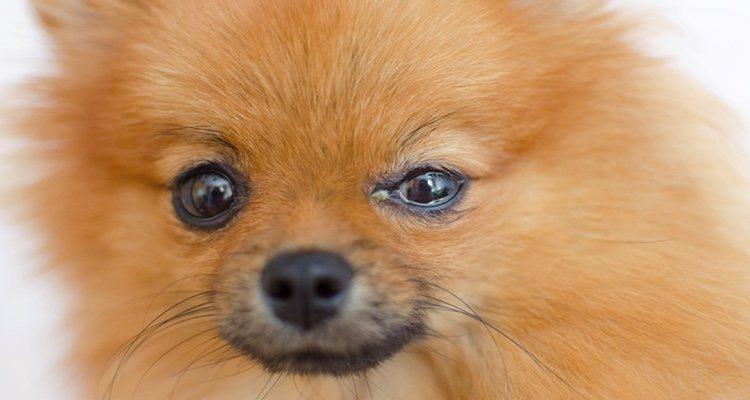 La conjuntivitis muestra legañas de tono verdoso, ojos llorosos y dificultad para abrirlos