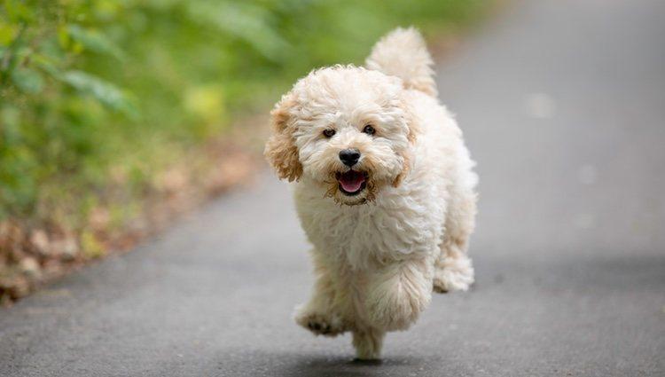Esta raza de perro destaca por ser muy inteligente