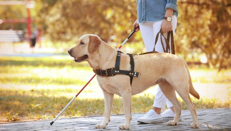 No todos los perros pueden convertirse en perros de asistencia