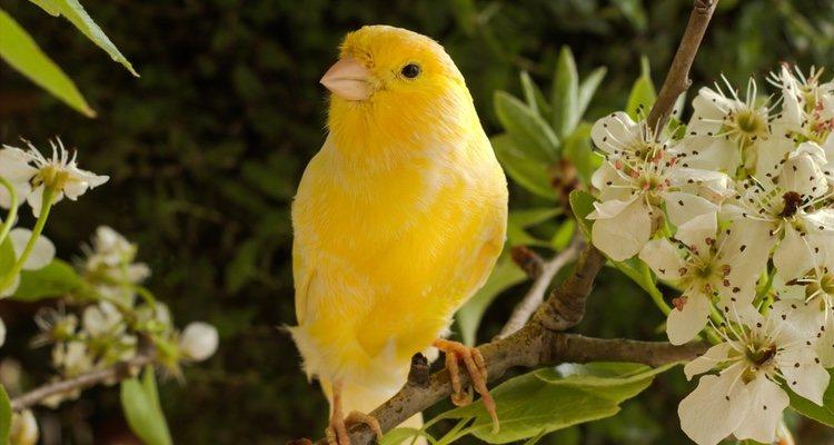 Es importante que elijas a un macho si lo que quieres es que tu pájaro cante