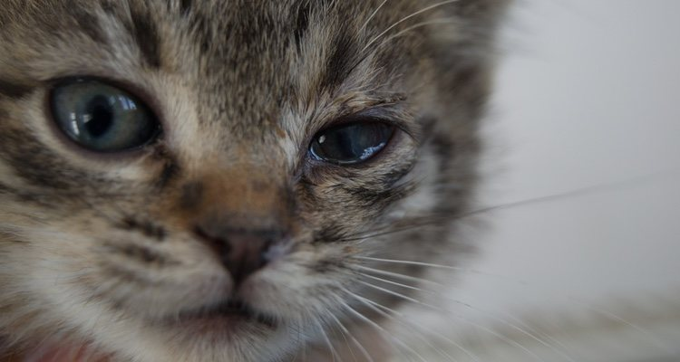 У кошки будут опухшие, закрытые глаза и обильные выделения.