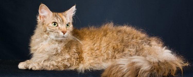 El gato LaPerm es una raza de pelaje rizado