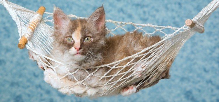 Estos gatos son una raza dócil y cariñosa