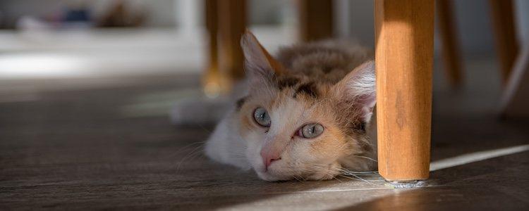 La creadora de este tipo de gatos fue la señora Linda Koehl