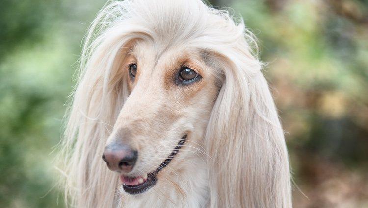Estos perros requieren de un champú especial para su cabello