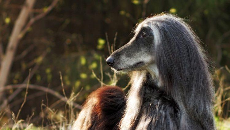Hay que secar bien el pelo de estos perros para que no se formen nudos