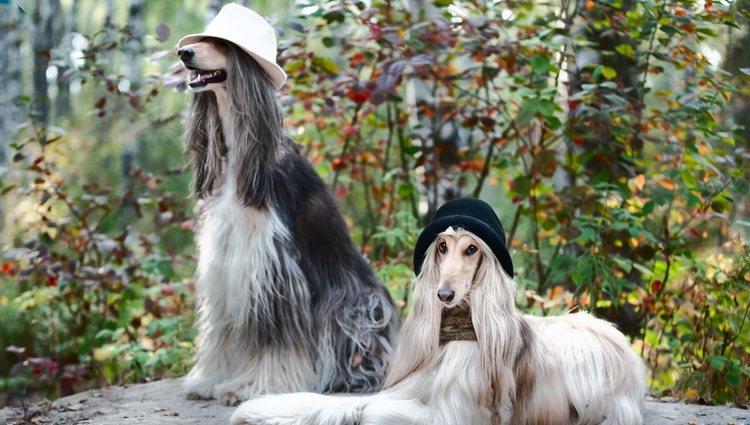 Es necesario que el cabello de estos perros se lave un mínimo de 3 veces a la semana