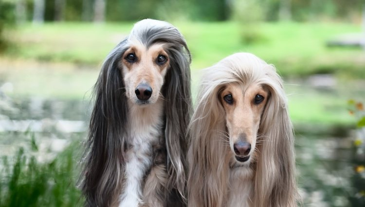 Los galgos afganos tienen algo de especial y es su precioso pelo