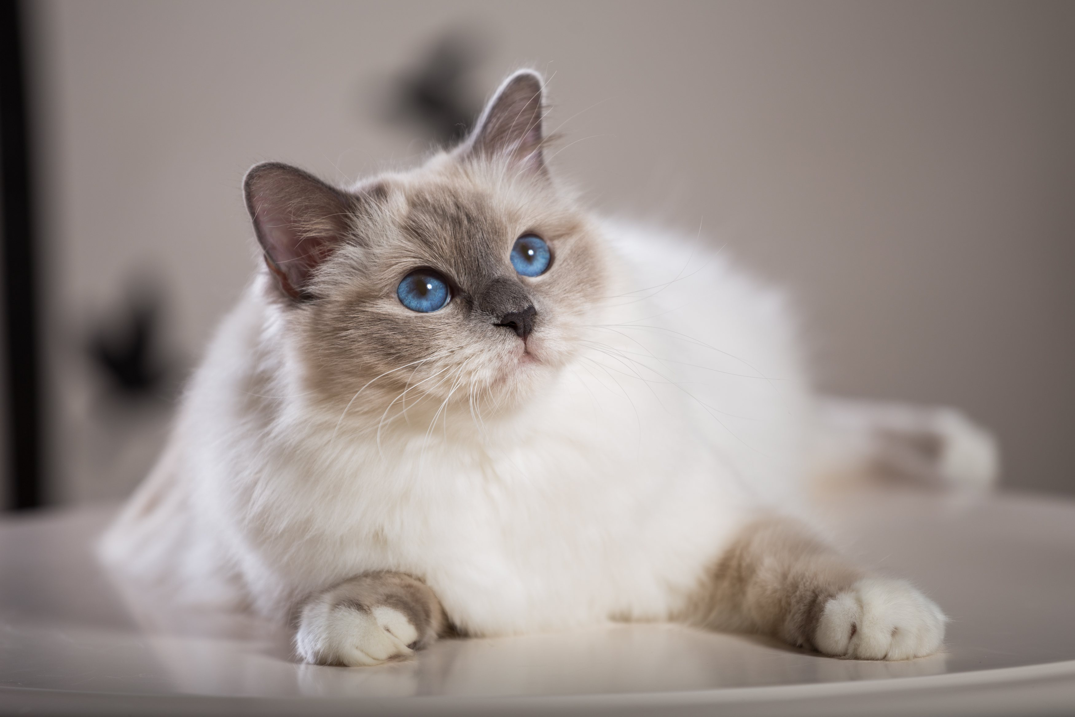 У усыновления взрослой кошки много преимуществ