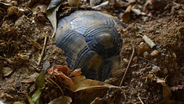 Las tortugas tienden a enterrarse durante el proceso