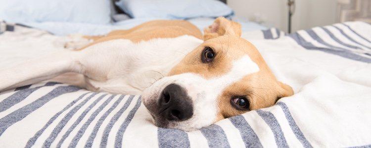 Los perros que se muestran débiles pueden tener un problema de calcio