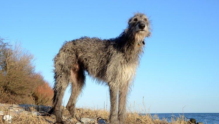 Los galgos escoceses también pueden llamarse deerhounds