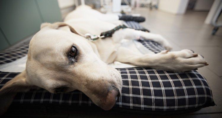 Los tratamientos dependen del grado de peritonitis de cada mascota