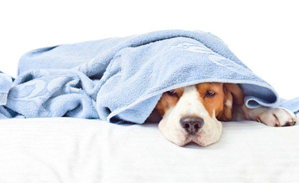Perro enfermo tapado con una manta