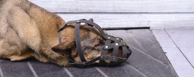 El perro necesita un tiempo de adaptación al bozal