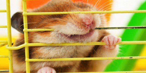 El hámster tiene que sentirse a gusto en su jaula