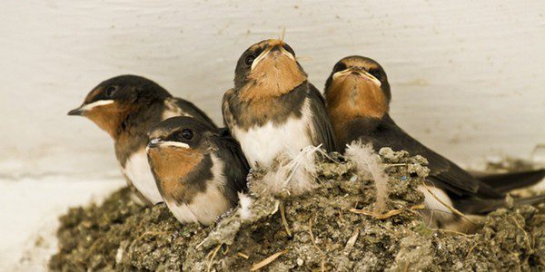 La mayoría de pájaros se alimenta de alpiste