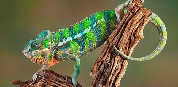 El camaleón, un animal exótico muy popular como mascota