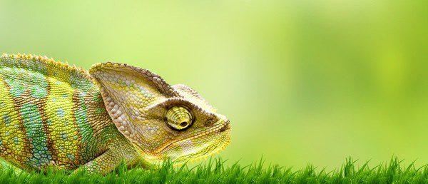 El camaleón siempre busca privacidad