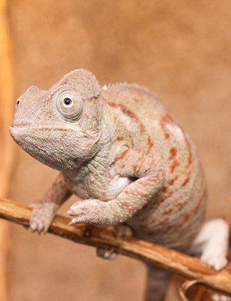 Un camaleón puede permanecer quieto horas