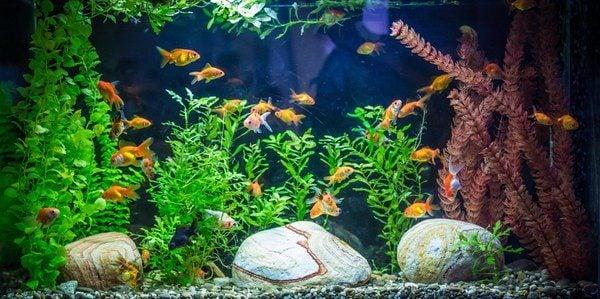 Mantenimiento y accesorios de un acuario bekia mascotas for Clases de peces de acuario