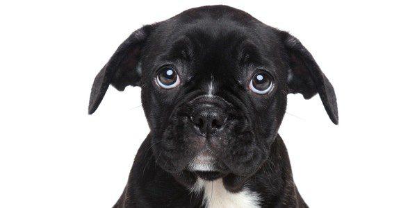 Los perros son orejas cortas necesitan menos cuidados