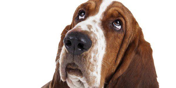 Limpiar los ojos a los perros es una tarea sencilla que no se debe descuidar
