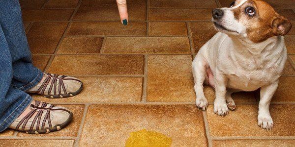 La disfunción cognitiva de un perro puede manifestarse con pérdidas de orina
