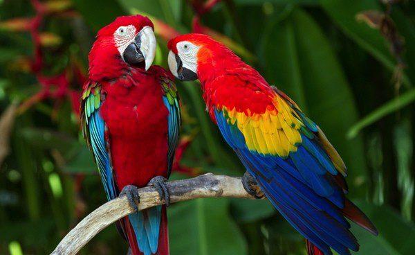 Si un pájaro está en contacto con otro pueden transferirse enfermedades