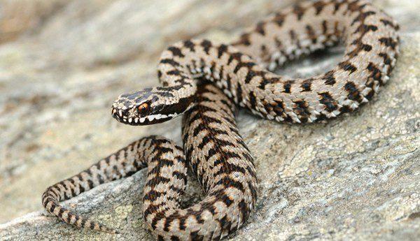 Ejemplar de una cobra