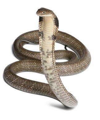 La mayoría de las serpientes son culebras
