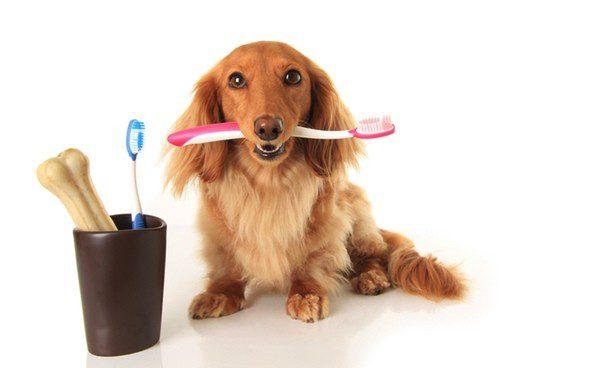 Tanto nuestras mascotas como nosotros tenemos que acostumbrarnos a la rutina de limpiar los dientes
