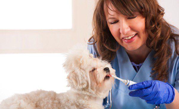 Cuando el perro es adulto hay que limpiarle los dientes un día sí y otro no