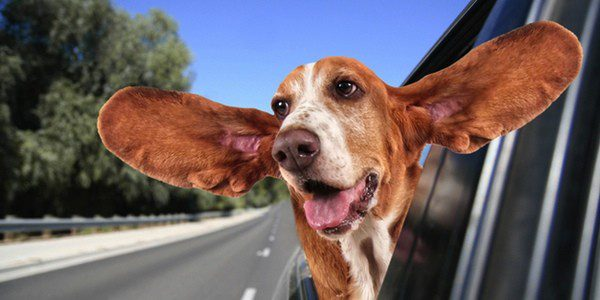 Las orejas de los perros deben mantenerse limpias