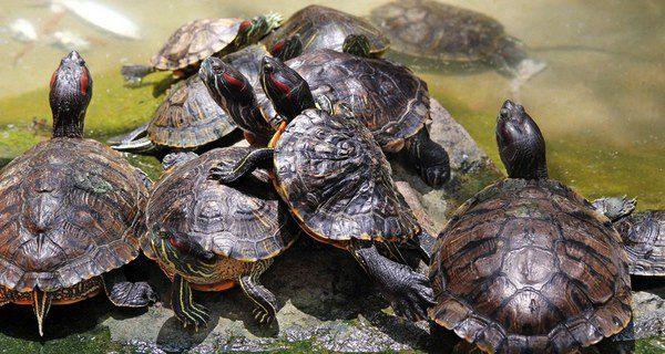 No es fácil conocer el sexo de las tortugas
