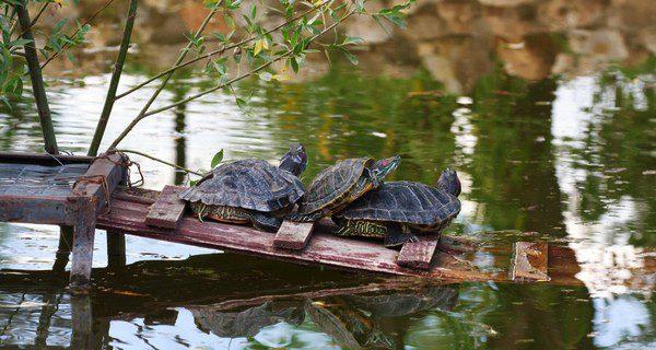 Las tortugas se reproducen cuando alcanzan la madurez sexual