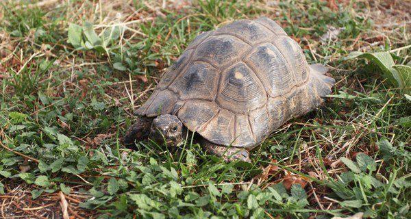 La edad de las tortugas terrestres es más fácil de averiguar