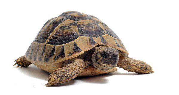 La longevidad de tu tortuga dependerá del cuidado que le dediques