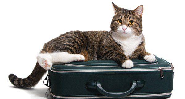 Para un gato un viaje puede ser algo muy estresante