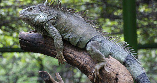 Una iguana son mascotas que necesitan muchos cuidados