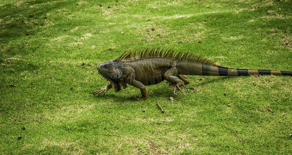 Las iguanas no son una mascota adecuada si pasas mucho tiempo fuera de casa