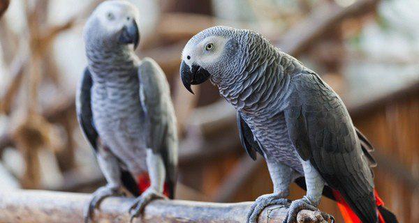 El loro gris africano son cariñoso y necesita estimulación