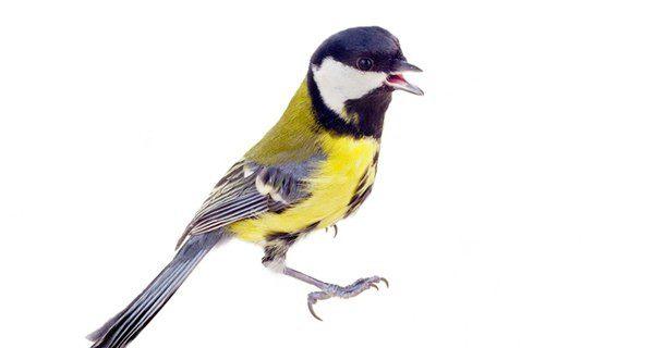 Aunque en algunas especies no lo parezca, todos los pájaros cantan