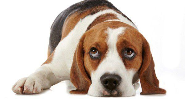 Los perros pueden estar tristes como los humanos