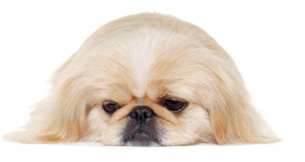 ¿Quieres saber si tu perro está deprimido?