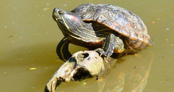 No se alimentan igual las tortugas de tierra y las de agua